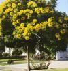 CassiaLeptophylla2.jpg